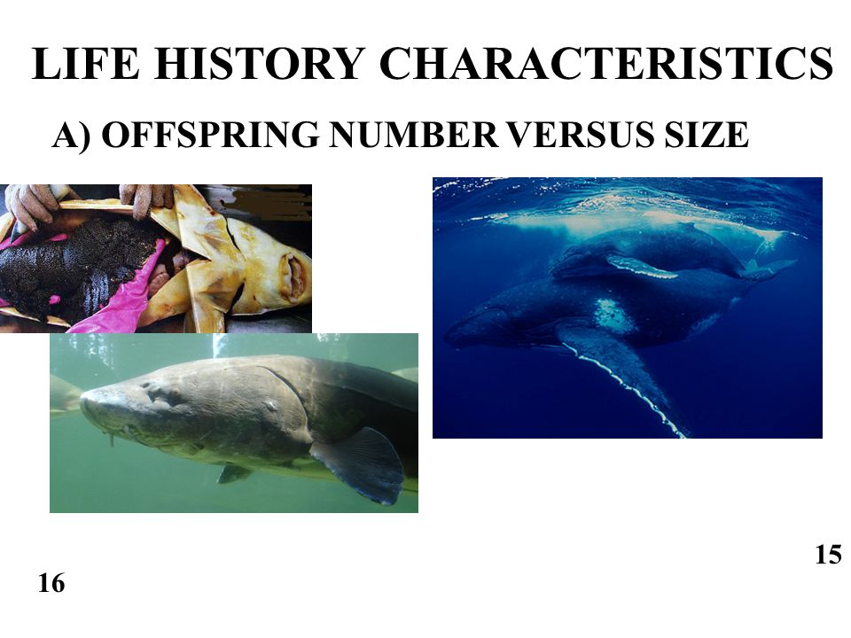 A) OFFSPRING NUMBER VERSUS SIZE LIFE HISTORY CHARACTERISTICS 15 16