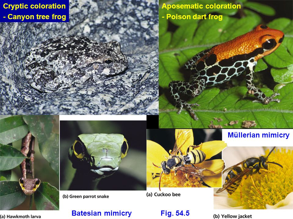 Cryptic coloration - Canyon tree frog Aposematic coloration - Poison dart frog Batesian mimicry Fig.