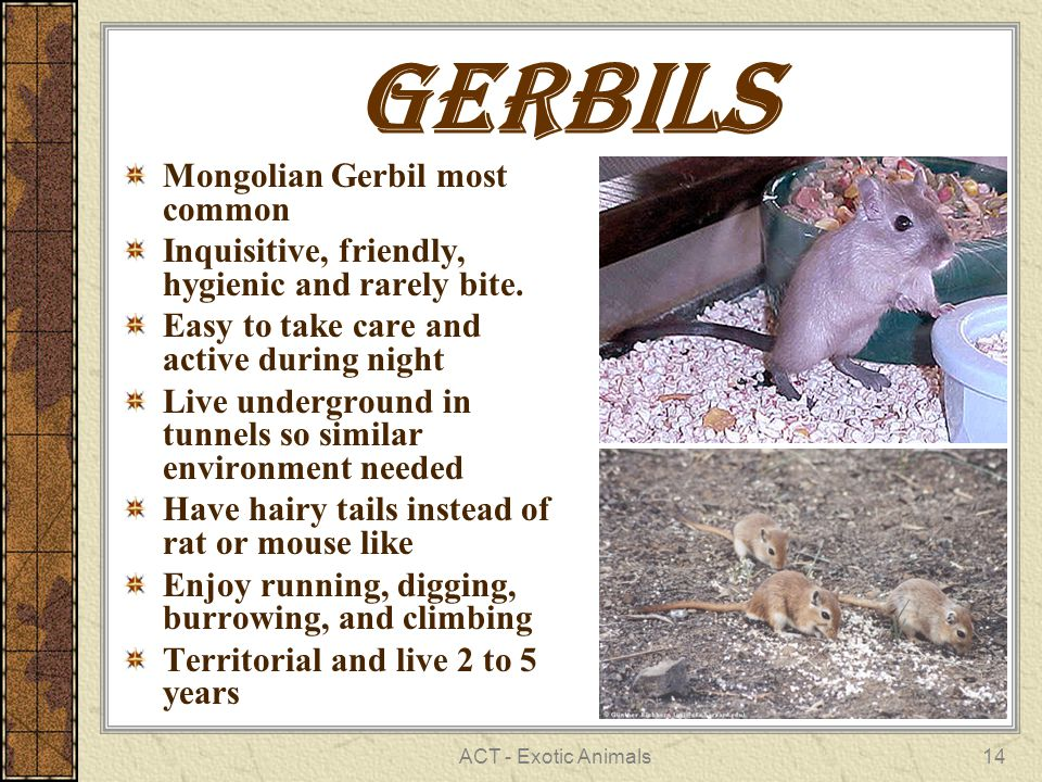 ACT - Exotic Animals14 Gerbils Mongolian Gerbil most common Inquisitive, friendly, hygienic and rarely bite.
