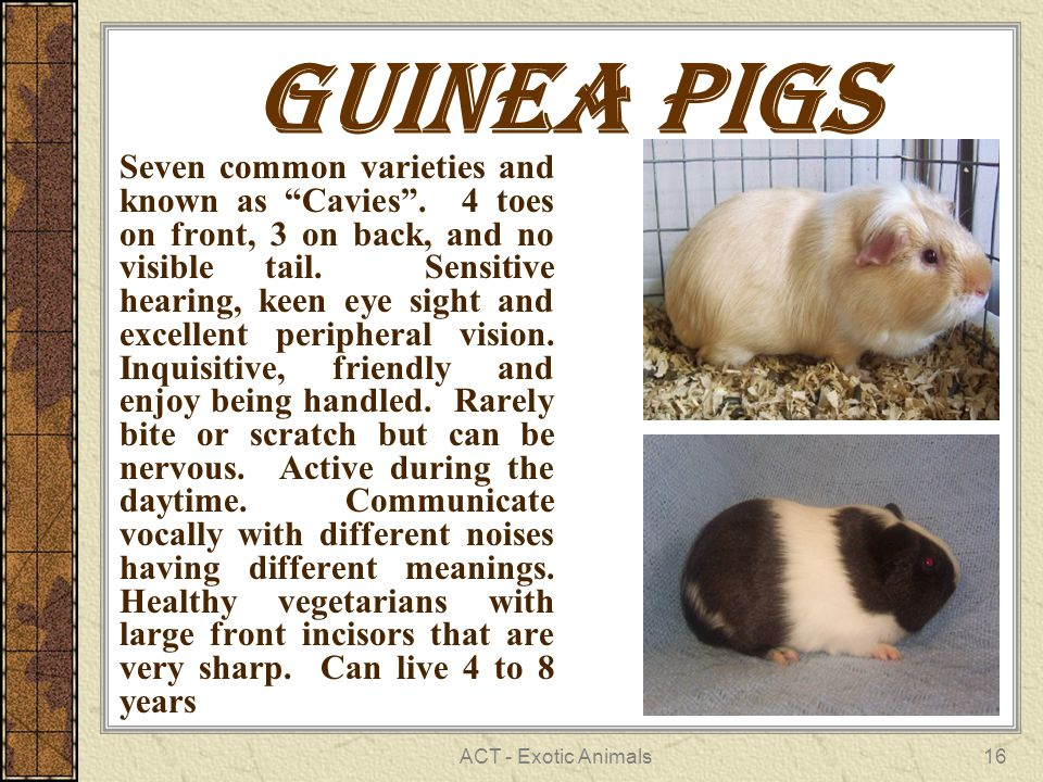 ACT - Exotic Animals16 Guinea pigs Seven common varieties and known as Cavies .
