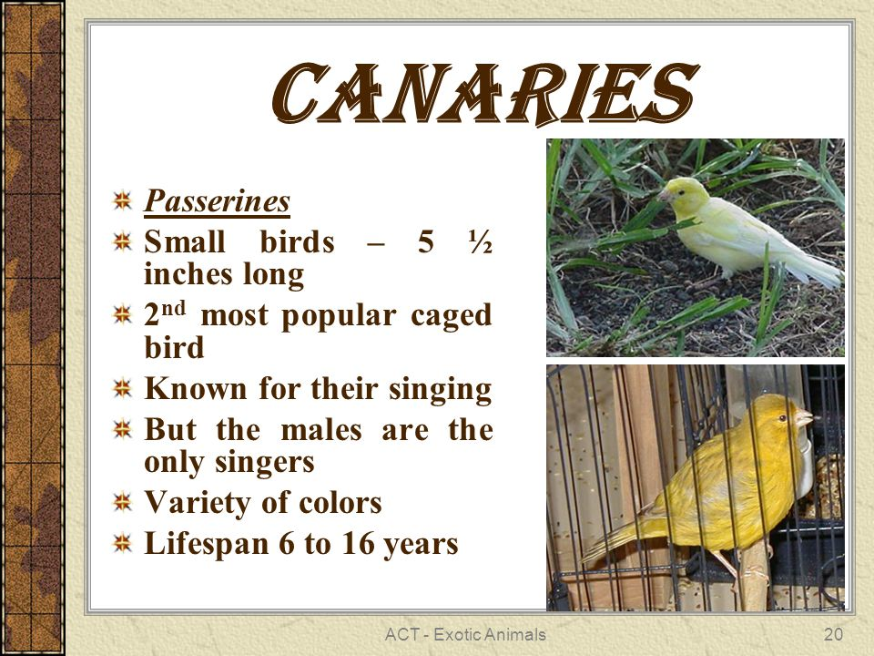 ACT - Exotic Animals20 Canaries Passerines Small birds – 5 ½ inches long 2 nd most popular caged bird Known for their singing But the males are the only singers Variety of colors Lifespan 6 to 16 years