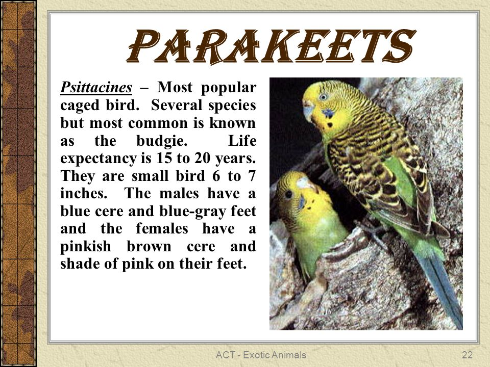 ACT - Exotic Animals22 Parakeets Psittacines – Most popular caged bird.