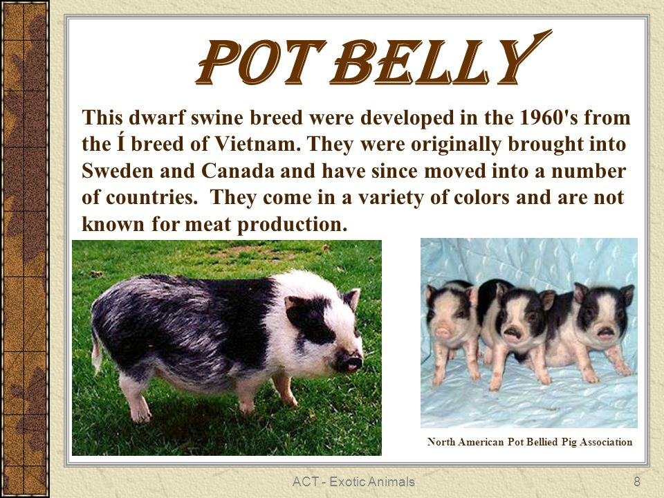 ACT - Exotic Animals8 POT BELLY This dwarf swine breed were developed in the 1960 s from the Í breed of Vietnam.