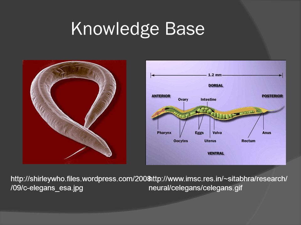 Knowledge Base http://www.imsc.res.in/~sitabhra/research/ neural/celegans/celegans.gif http://shirleywho.files.wordpress.com/2008 /09/c-elegans_esa.jpg