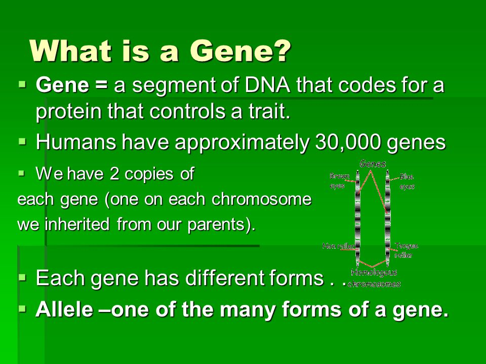 What is a Gene?  Gene = a segment of DNA that codes for a protein that controls a trait.  Humans have approximately 30,000 genes  We have 2 copies