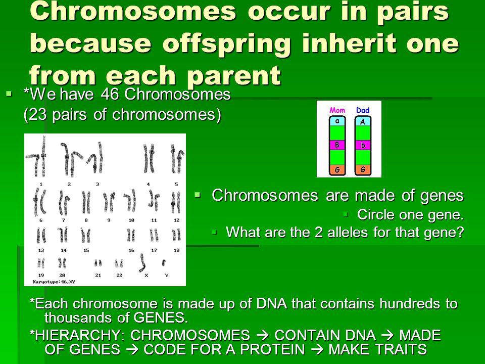 Chromosomes occur in pairs because offspring inherit one from each parent  *We have 46 Chromosomes (23 pairs of chromosomes)  Chromosomes are made o