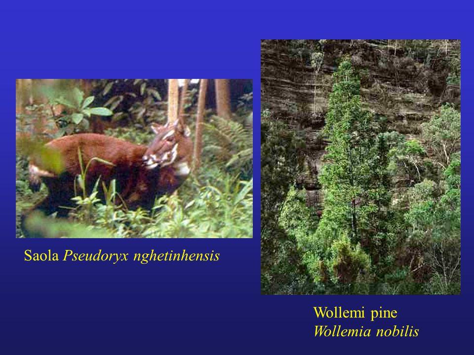 Saola Pseudoryx nghetinhensis Wollemi pine Wollemia nobilis
