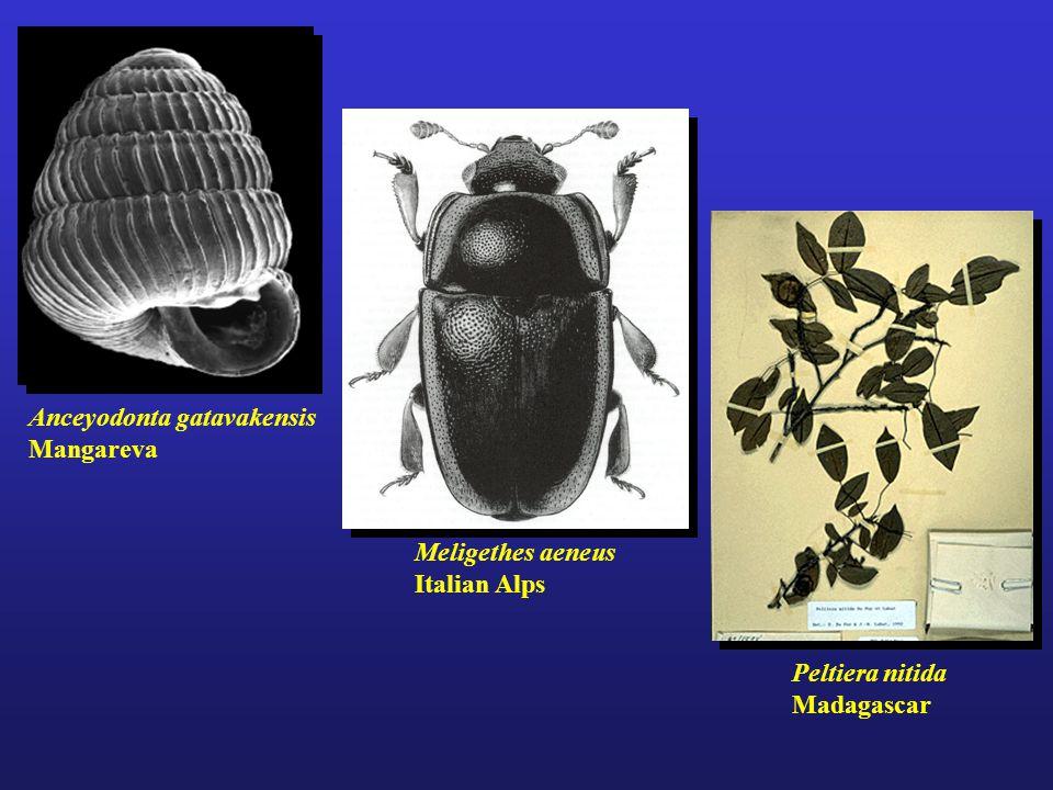 Anceyodonta gatavakensis Mangareva Peltiera nitida Madagascar Meligethes aeneus Italian Alps
