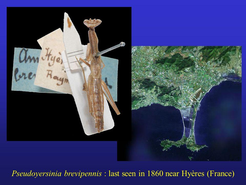 Pseudoyersinia brevipennis : last seen in 1860 near Hyères (France)