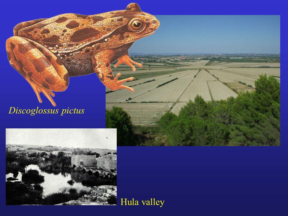 Discoglossus pictus Hula valley