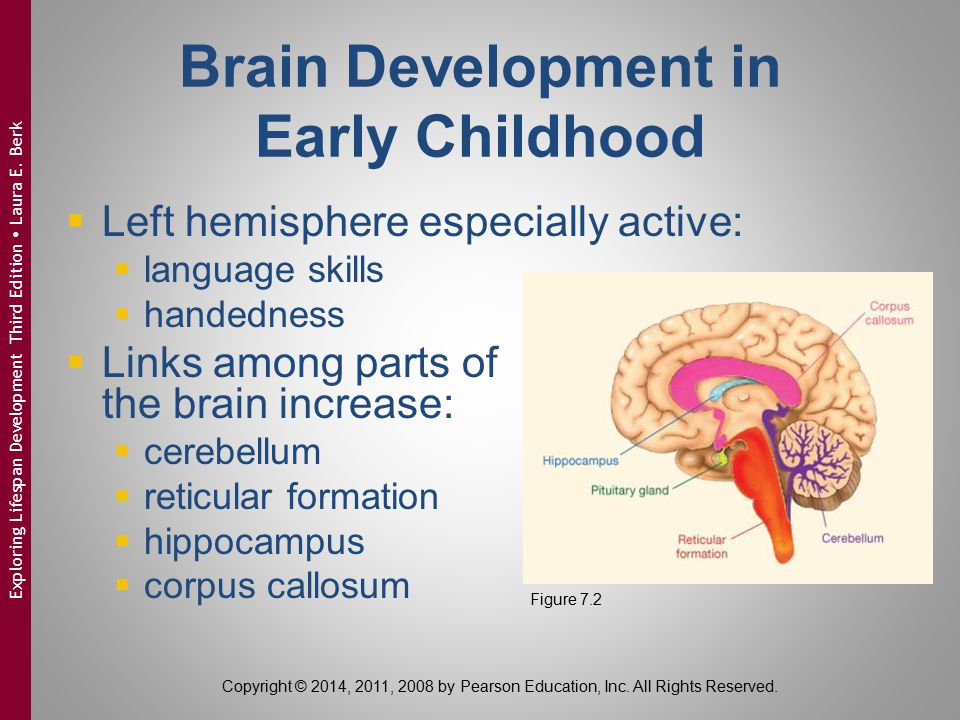 Brain Development in Early Childhood  Left hemisphere especially active:  language skills  handedness  Links among parts of the brain increase: 