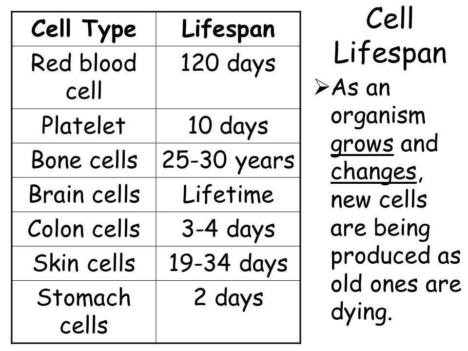 Cell Lifespan  As an organism grows and changes, new cells are being produced as old ones are dying. Cell TypeLifespan Red blood cell 120 days Platel