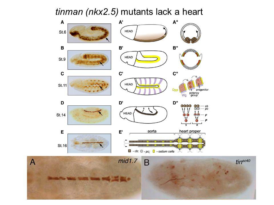 tinman (nkx2.5) mutants lack a heart