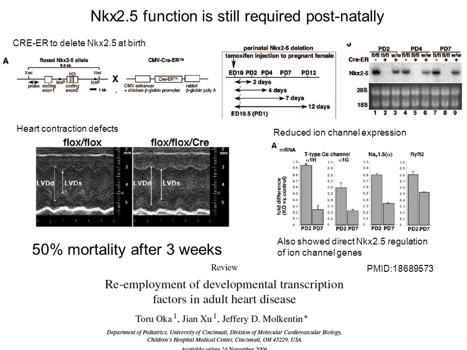 Nkx2.5 function is still required post-natally PMID:18689573 CRE-ER to delete Nkx2.5 at birth Heart contraction defects Reduced ion channel expression Also showed direct Nkx2.5 regulation of ion channel genes 50% mortality after 3 weeks