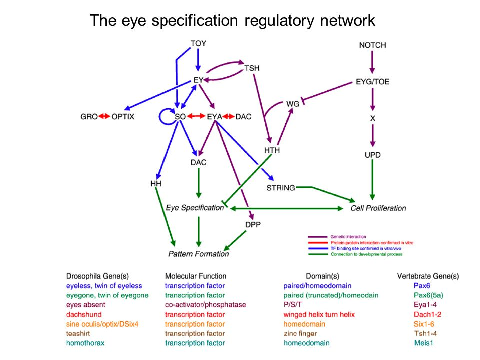 The eye specification regulatory network