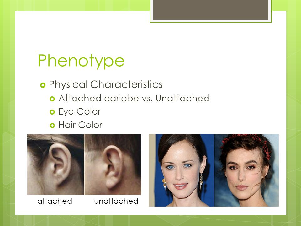 Phenotype  Physical Characteristics  Attached earlobe vs.
