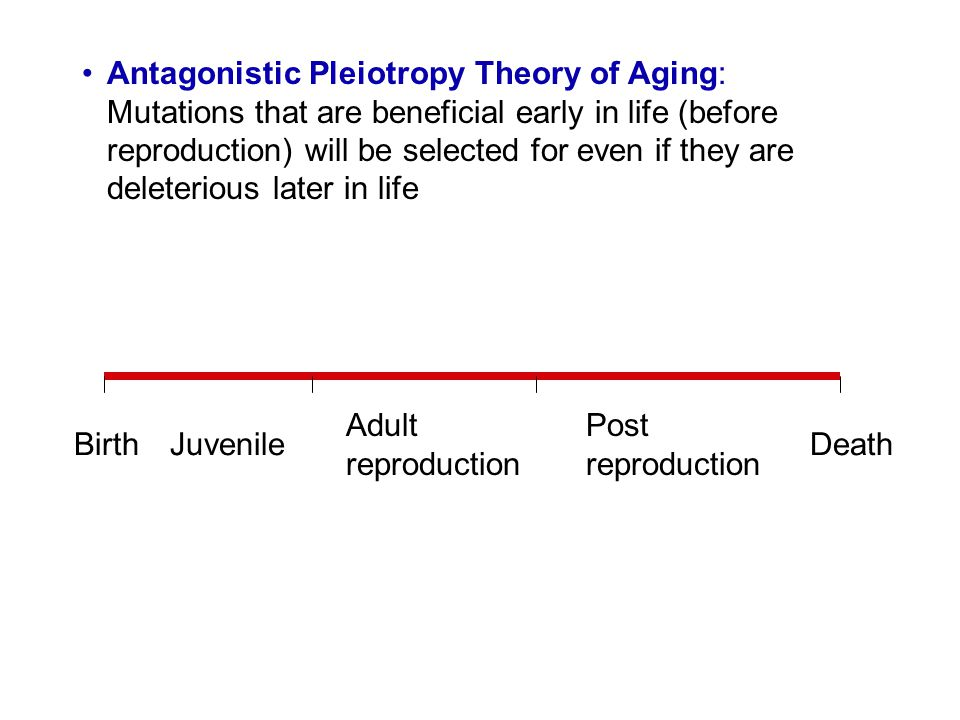 Antagonistic Pleiotropy Theory of Aging: Mutations that are beneficial early in life (before reproduction) will be selected for even if they are delet