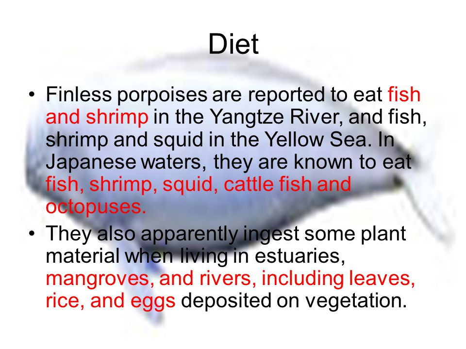 Diet Finless porpoises are reported to eat fish and shrimp in the Yangtze River, and fish, shrimp and squid in the Yellow Sea.