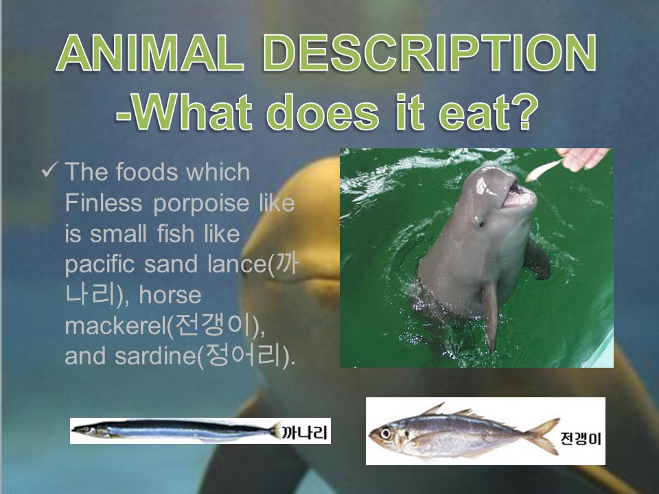 The foods which Finless porpoise like is small fish like pacific sand lance( 까 나리 ), horse mackerel( 전갱이 ), and sardine( 정어리 ).