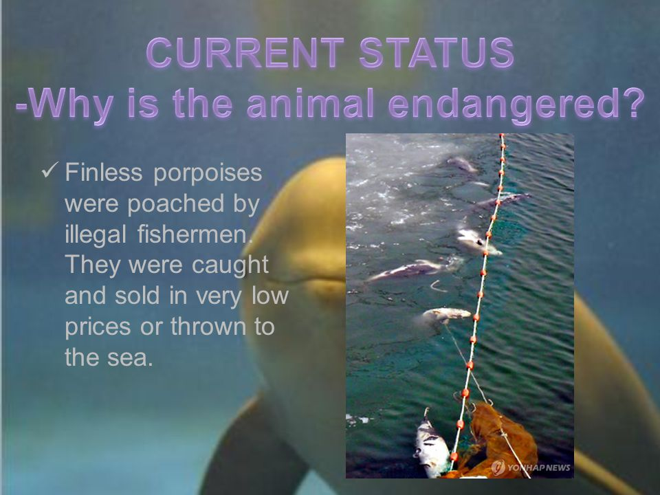 Finless porpoises were poached by illegal fishermen. They were caught and sold in very low prices or thrown to the sea.