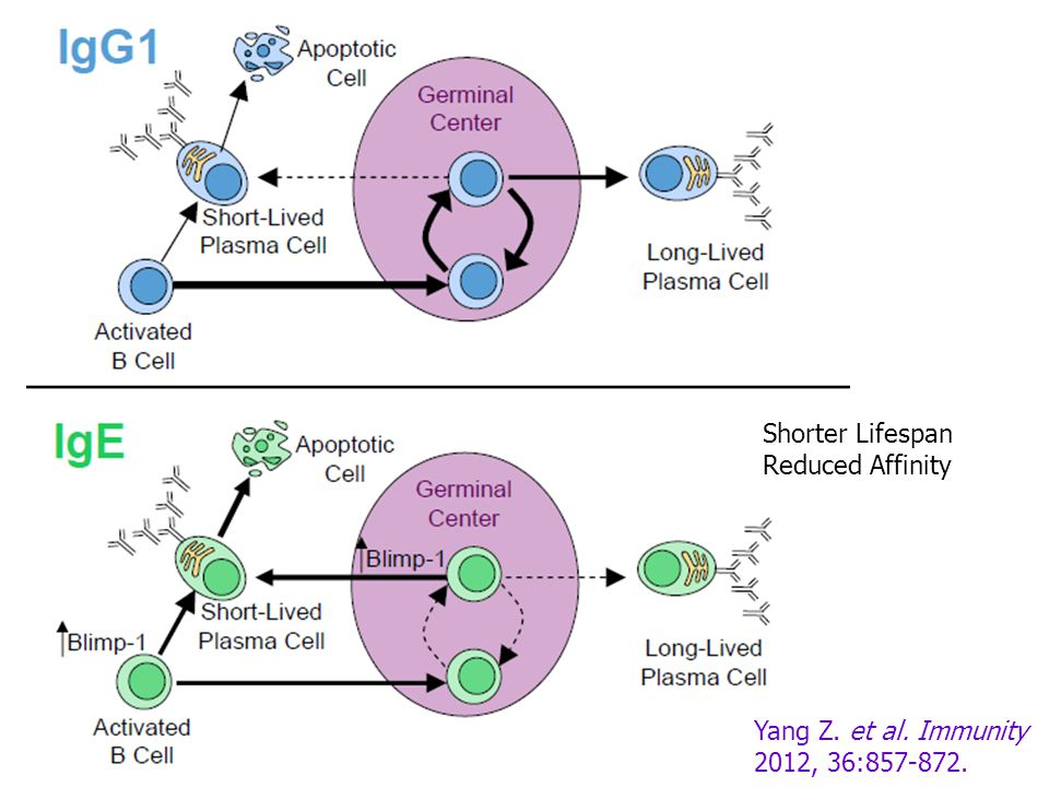 Shorter Lifespan Reduced Affinity Yang Z. et al. Immunity 2012, 36:857-872.