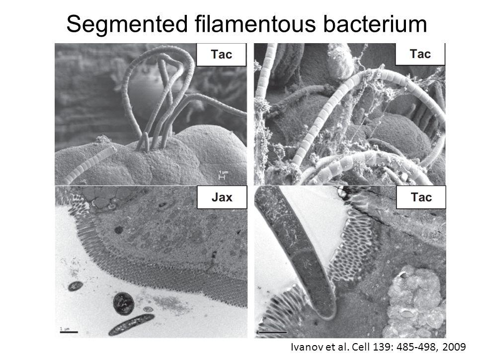 Segmented filamentous bacterium Ivanov et al. Cell 139: 485-498, 2009