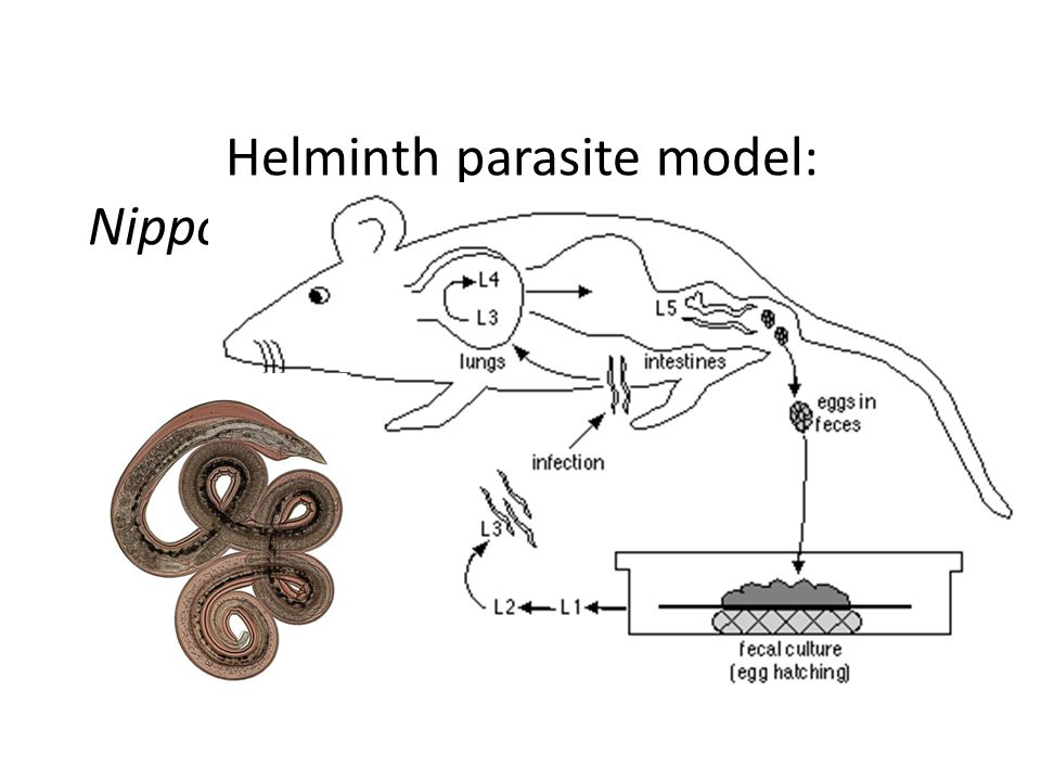 Helminth parasite model: Nippostrongylus brasiliensis infection