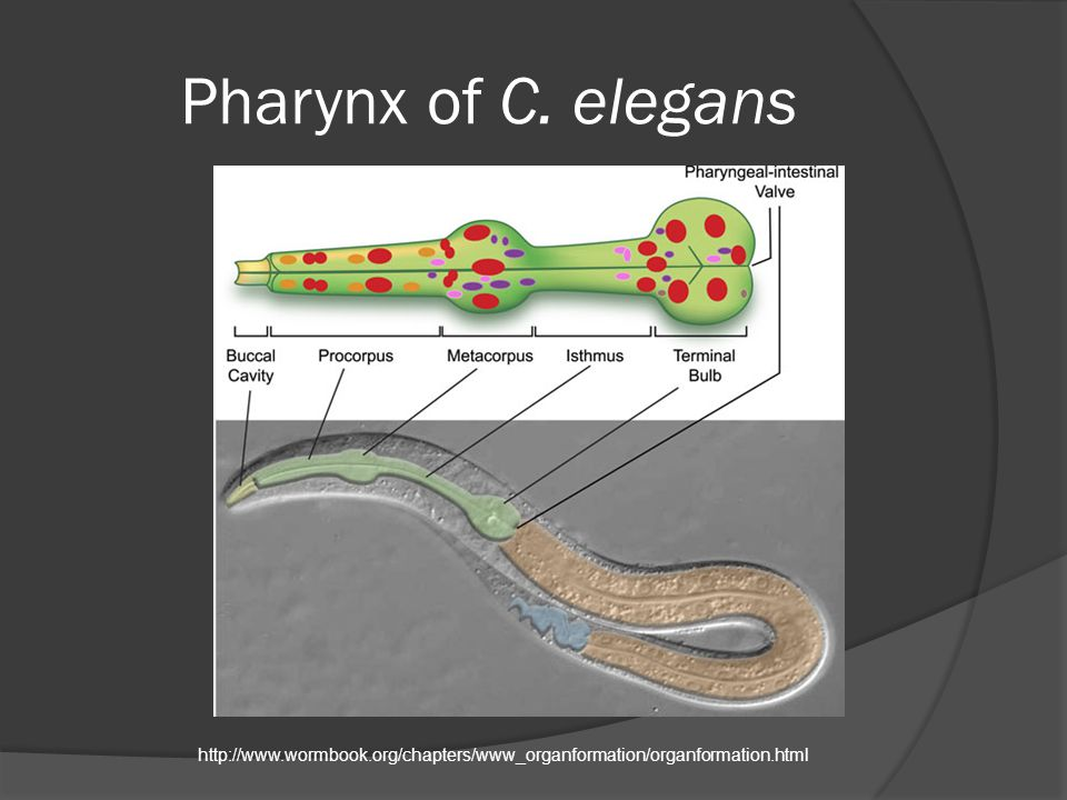 Pharynx of C. elegans http://www.wormbook.org/chapters/www_organformation/organformation.html