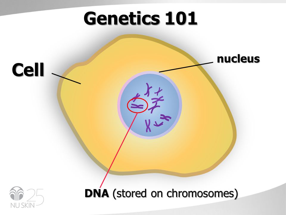 Cell nucleus DNA (stored on chromosomes) Genetics 101