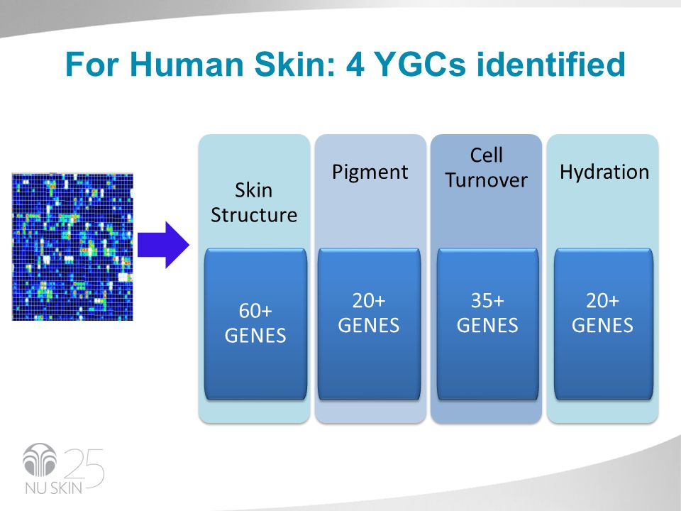 Skin Structure TIMP1 COL7A1 AQP3 IL1B PPARG TNFA POMC IL1B IL6 SOD2 MT2A TXNRD1 60+ GENES For Human Skin: 4 YGCs identified Pigment 20+ GENES Cell Turnover 35+ GENES Hydration 20+ GENES