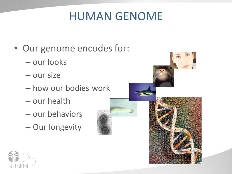 HUMAN GENOME Our genome encodes for: – our looks – our size – how our bodies work – our health – our behaviors – Our longevity