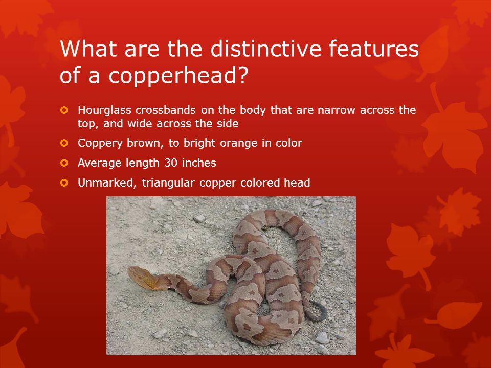What are the distinctive features of a copperhead.