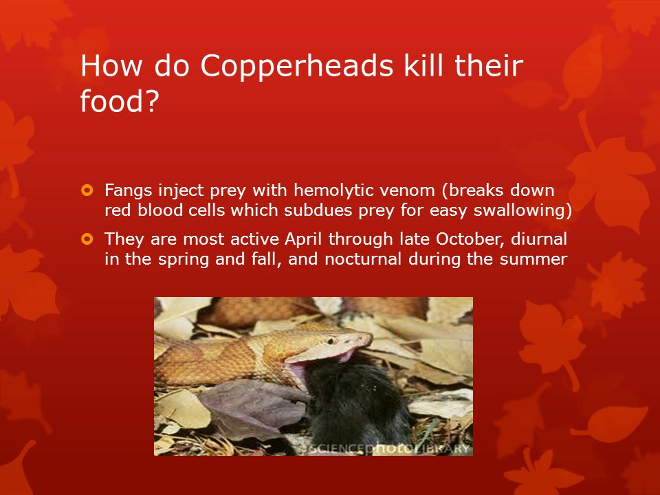 How deadly are Copperhead bites.