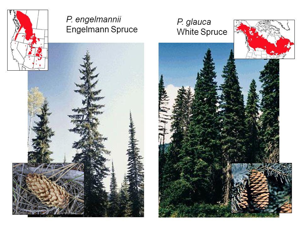 P. monticolaP. albicaulis P. engelmannii Engelmann Spruce P. glauca White Spruce