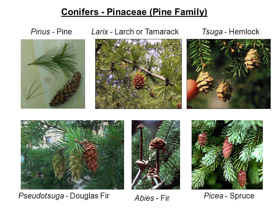 Conifers - Pinaceae (Pine Family) Pinus - PineLarix - Larch or TamarackTsuga - Hemlock Pseudotsuga - Douglas Fir Abies - Fir Picea - Spruce
