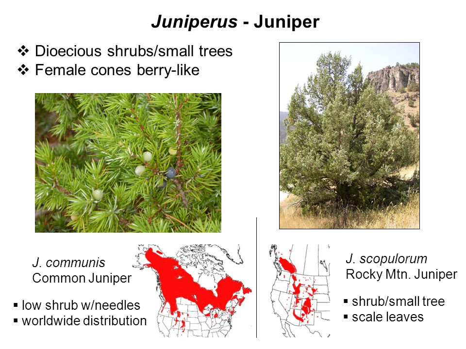 Juniperus - Juniper J. scopulorum Rocky Mtn. Juniper  Dioecious shrubs/small trees  Female cones berry-like J. communis Common Juniper  low shrub w