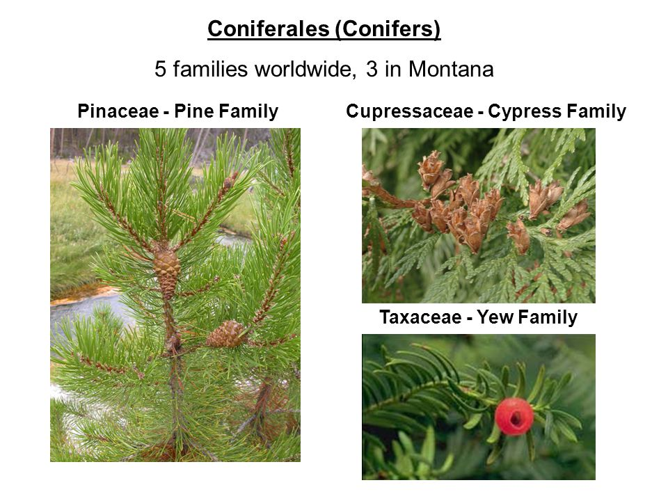 Coniferales (Conifers) 5 families worldwide, 3 in Montana Cupressaceae - Cypress Family Taxaceae - Yew Family Pinaceae - Pine Family