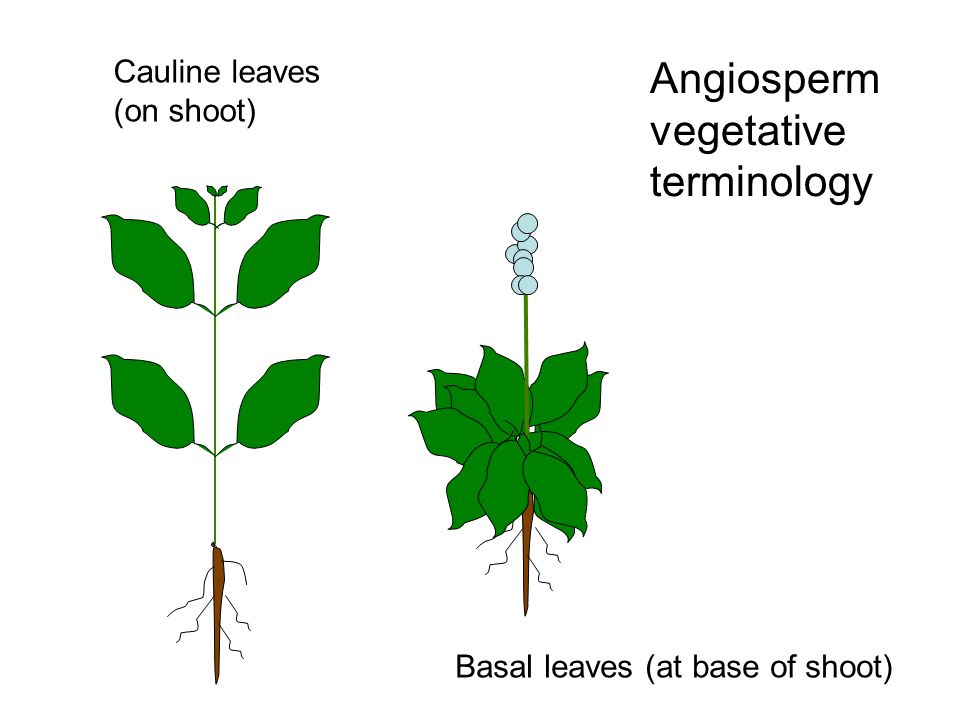 Angiosperm vegetative terminology Basal leaves (at base of shoot) Cauline leaves (on shoot)
