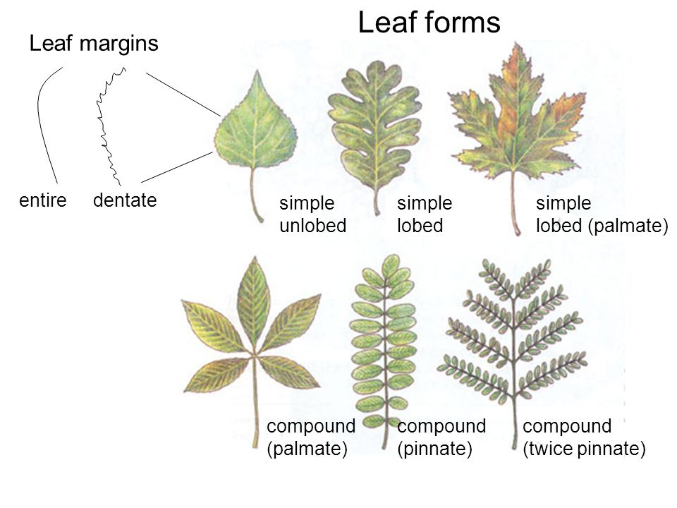 Leaf forms simple unlobed simple lobed simple lobed (palmate) compound (palmate) compound (pinnate) compound (twice pinnate) entiredentate Leaf margin