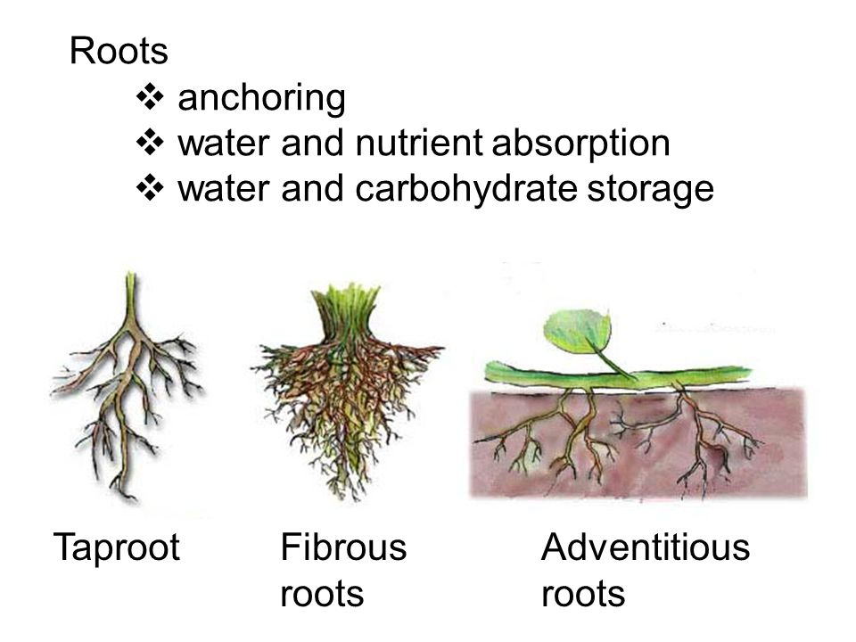 Roots  anchoring  water and nutrient absorption  water and carbohydrate storage TaprootFibrous roots Adventitious roots