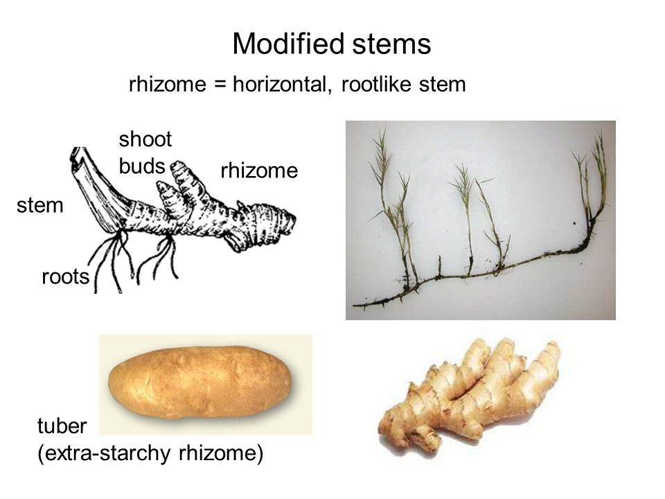 Modified stems rhizome = horizontal, rootlike stem stem roots rhizome shoot buds tuber (extra-starchy rhizome)
