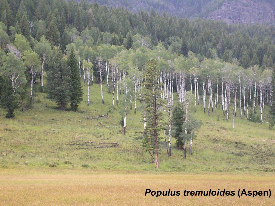 Saxifraga Populus tremuloides (Aspen)