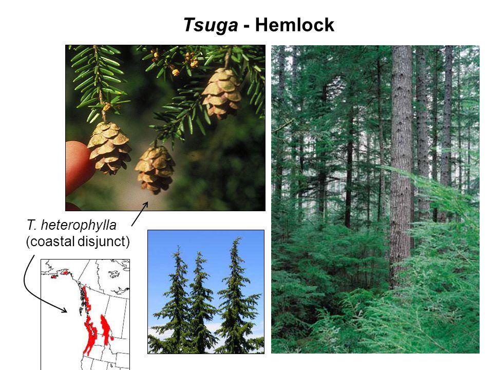 Tsuga - Hemlock P. albicaulis T. heterophylla (coastal disjunct)