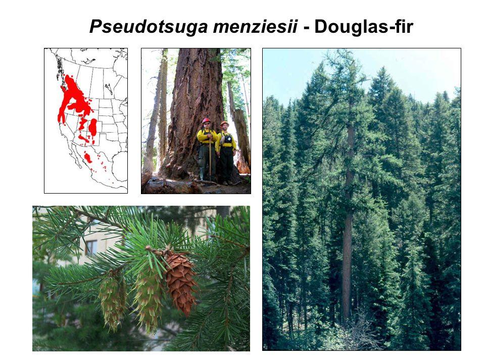 Pseudotsuga menziesii - Douglas-fir P. monticolaP. albicaulis
