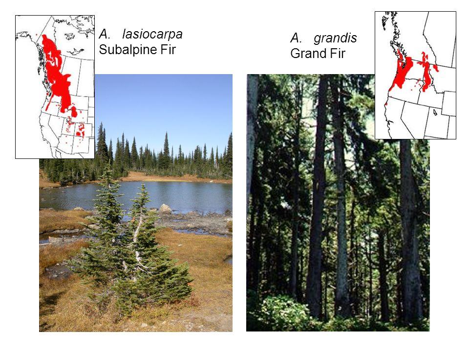 A.lasiocarpa Subalpine Fir P. monticolaP. albicaulis A.grandis Grand Fir