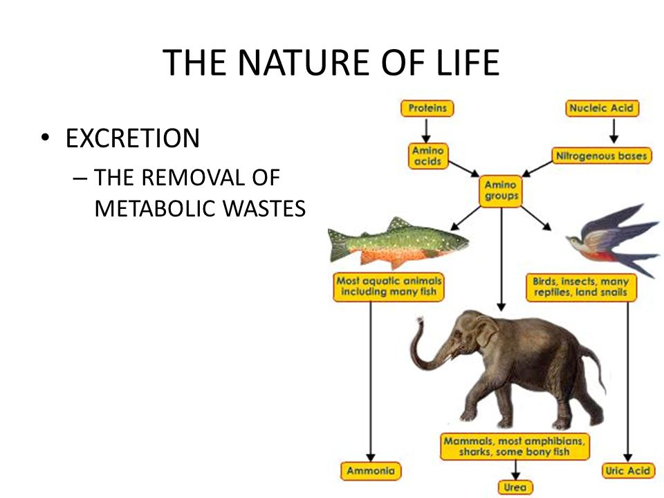 THE NATURE OF LIFE GROWTH – PROCESS BY WHICH ORGANISMS INCREASE IN SIZE (EITHER # OF CELLS, OR SIZE OF CELL)