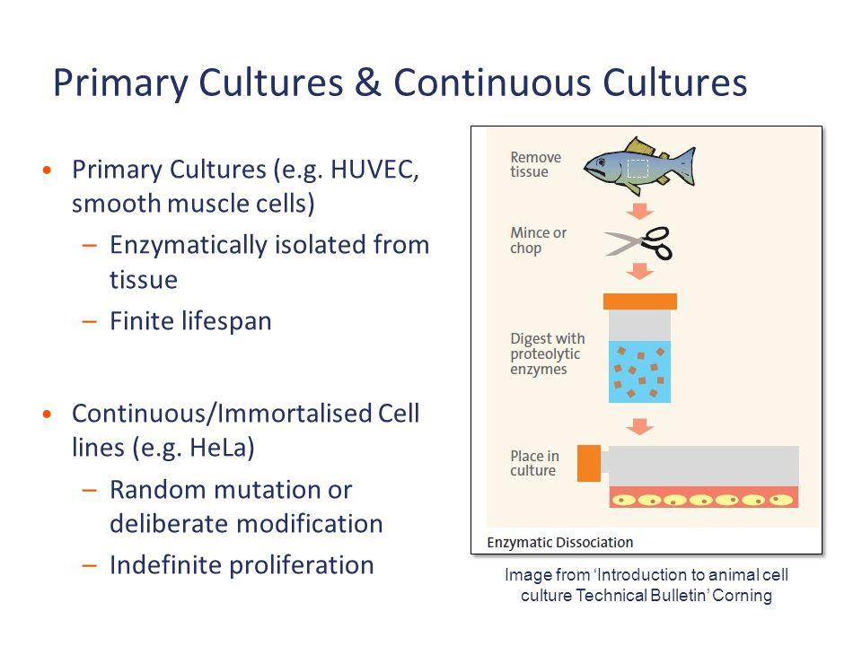 Primary Cultures & Continuous Cultures Primary Cultures (e.g. HUVEC, smooth muscle cells) –Enzymatically isolated from tissue –Finite lifespan Continu