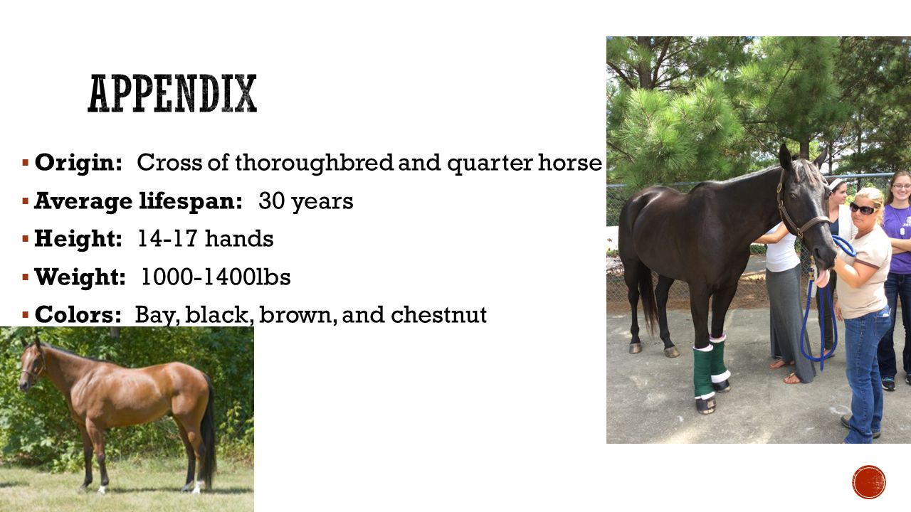  Origin: Cross of thoroughbred and quarter horse  Average lifespan: 30 years  Height: 14-17 hands  Weight: 1000-1400lbs  Colors: Bay, black, brown, and chestnut