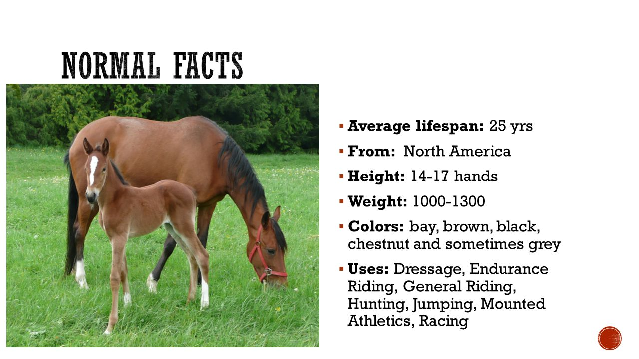  Average lifespan: 25 yrs  From: North America  Height: 14-17 hands  Weight: 1000-1300  Colors: bay, brown, black, chestnut and sometimes grey  Uses: Dressage, Endurance Riding, General Riding, Hunting, Jumping, Mounted Athletics, Racing