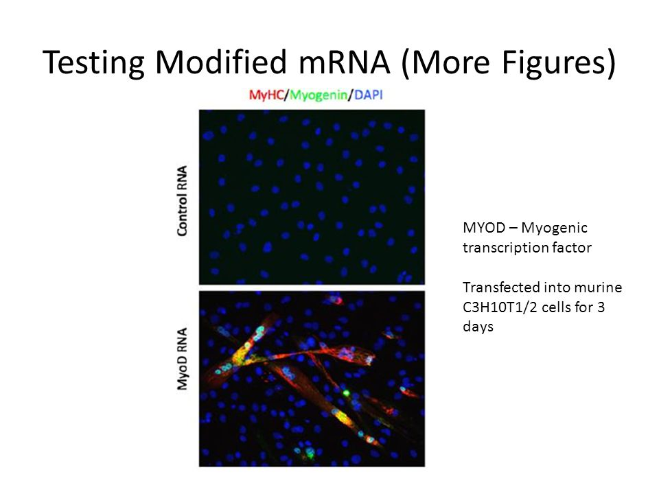 Testing Modified mRNA (More Figures) MYOD – Myogenic transcription factor Transfected into murine C3H10T1/2 cells for 3 days